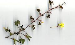 Oxalis corniculata L. 11/10/2007