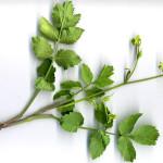 <em>Pastinaca sativa subsp. urens</em> (Req. ex Godr.) Celak. 28/07/2010