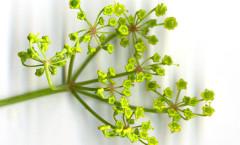 Pastinaca sativa subsp. urens (Req. ex Godr.) Celak. 28/07/2010