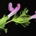 <em>Pedicularis sylvatica</em> L. 17/06/2008