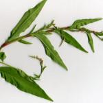 <em>Persicaria hydropiper</em> (L.) Spach 12/09/2007