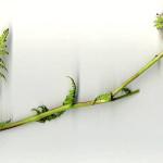 <em>Phacelia tanacetifolia</em> Benth. 12/05/2008