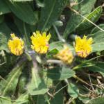 <em>Pilosella officinarum</em> Vaill. 23/04/2011