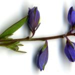 <em>Polygala serpyllifolia</em> Hosé 17/06/2008