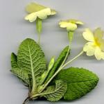 <em>Primula vulgaris</em> Huds. 03/04/2008