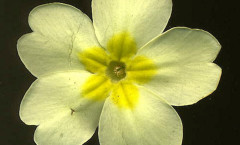 Primula vulgaris Huds. 03/04/2008