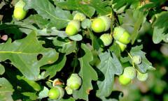 Quercus robur L. 31/08/2009