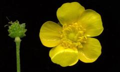 Ranunculus acris L. 10/05/2008