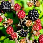 <em>Rubus fruticosus</em> L. 23/08/2009