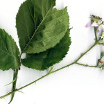 <em>Rubus fruticosus</em> L. 24/06/2008