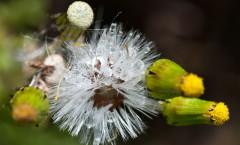 Senecio vulgaris L. 30/04/2010