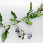 <em>Solanum dulcamara</em> L. 07/09/2007
