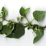<em>Solanum nigrum</em> L. 05/10/2007
