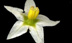 Solanum nigrum L. 05/10/2007