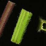 <em>Stachys palustris</em> L. 24/06/2008