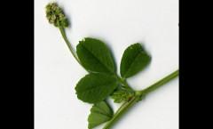 Trifolium dubium Sibth. 13/08/2009