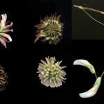 <em>Trifolium pratense</em> L. 28/08/2007