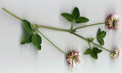 Trifolium pratense L. 28/08/2007