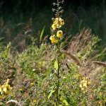 <em>Verbascum blattaria</em> L. 26/06/2010