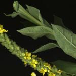 <em>Verbascum thapsus</em> L. 17/07/2010