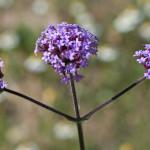 <em>Verbena bonariensis</em> L. 04/07/2010