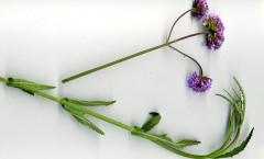 Verbena bonariensis L. 04/07/2010