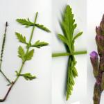 <em>Verbena officinalis</em> L. 18/08/2007