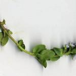 <em>Veronica serpyllifolia</em> L. 12/04/2009