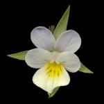 <em>Viola arvensis</em> Murray 07/09/2007
