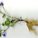 <em>Viola riviniana</em> Rchb. 02/04/2008