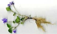 Viola riviniana Rchb. 02/04/2008
