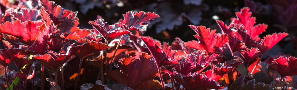 <em>Heuchera</em> 'Chocolate Ruffles'