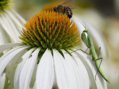 Juveline praying mantis