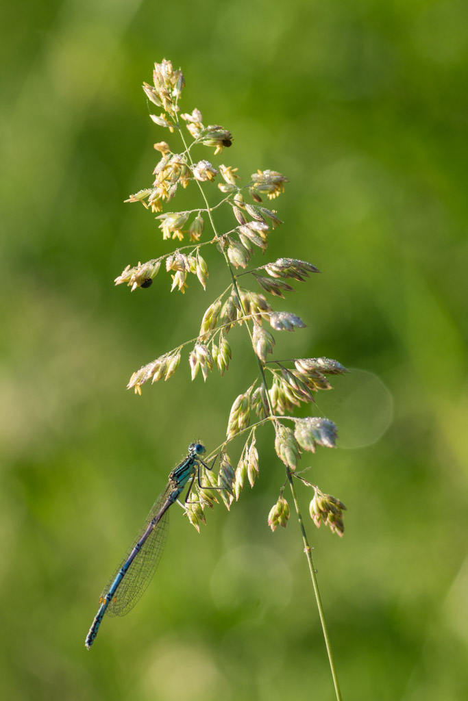 <em>Platycnemis pennipes</em> (male)