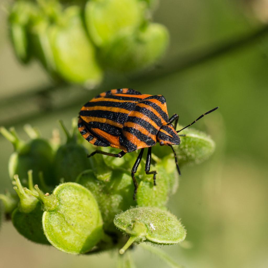 <em>Graphosoma italicum</em> The Striped bug