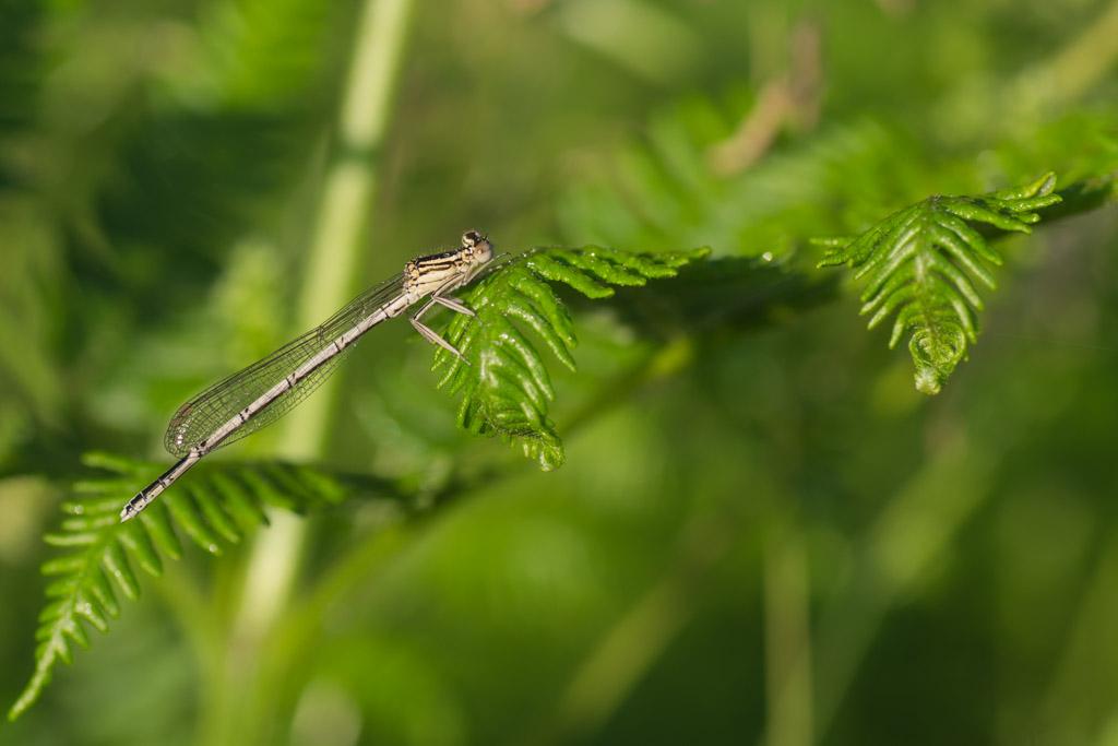 Platycnemis pennipes (female)