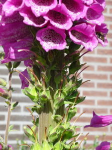 Fasciation on Digitalis. Note the larger thickened stem compared to the normal-sized flowering spike on the left.
