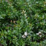 <em>Abelia × grandiflora</em> 'Prostrata' 19/07/2017