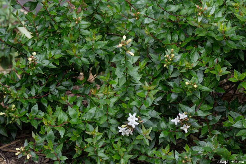 Abelia Grandiflora Prostrata Papi Joes Garden