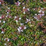 <em>Abelia × grandiflora</em> 'Prostrata' 28/09/2018