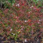 <em>Abelia × grandiflora</em> 'Prostrata'rouge 14/11/2018