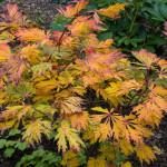 <em>Acer japonicum</em> 'Aconitifolium' 18/10/2015