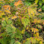 <em>Acer japonicum</em> 'Aconitifolium' 20/10/2016