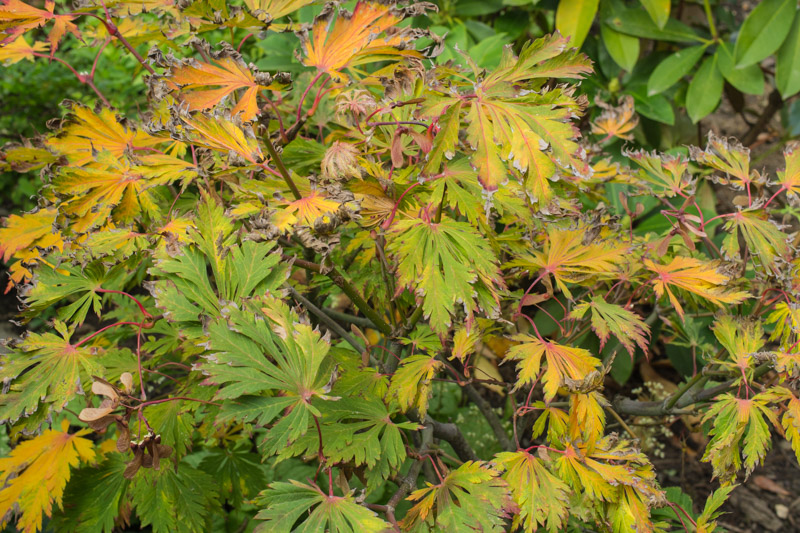 Autumn foliage (a little burnt this year)