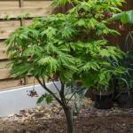 <em>Acer japonicum</em> 'Aconitifolium' 24/04/2015