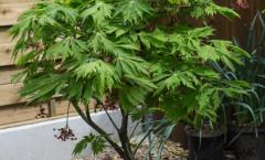 Acer japonicum 'Aconitifolium' 24/04/2015