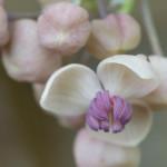 <em>Akebia quinata</em> 'Cream-flowered' 13/03/2015