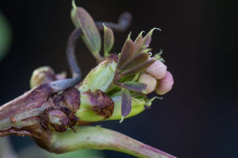New leaves & flower buds mid-february