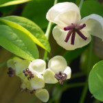 <em>Akebia quinata</em> 'Cream-flowered' 20/04/2015