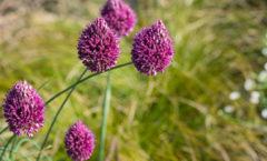 En pleine floraison début juillet (sur fond de Carex testacea).